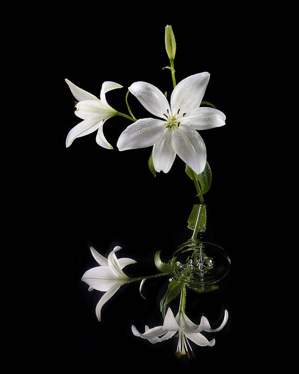 Lilly Poster featuring the photograph White Lilly With Reflection And Water Drop by Richard Steinberger