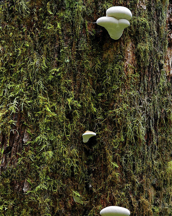 Fungus Poster featuring the photograph White Mushrooms - Quinault Temperate Rain Forest - Olympic Peninsula Wa by Christine Till