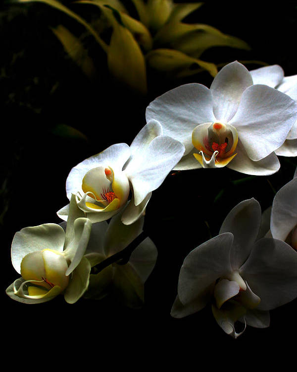 White Orchid On Black Poster featuring the photograph White Orchid With Dark Background by Jasna Buncic