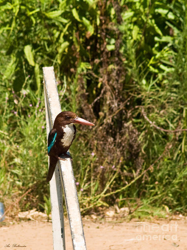 King Poster featuring the photograph White-throated Kingfisher 02 by Arik Baltinester