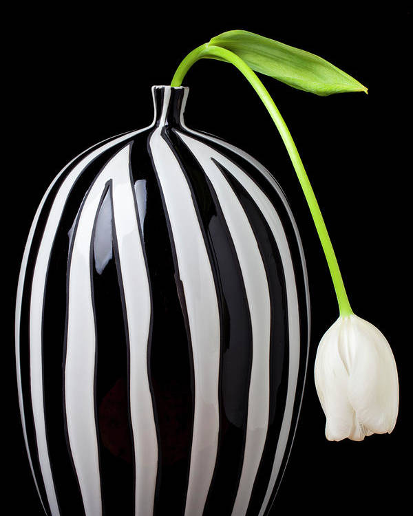 White Poster featuring the photograph White Tulip In Striped Vase by Garry Gay