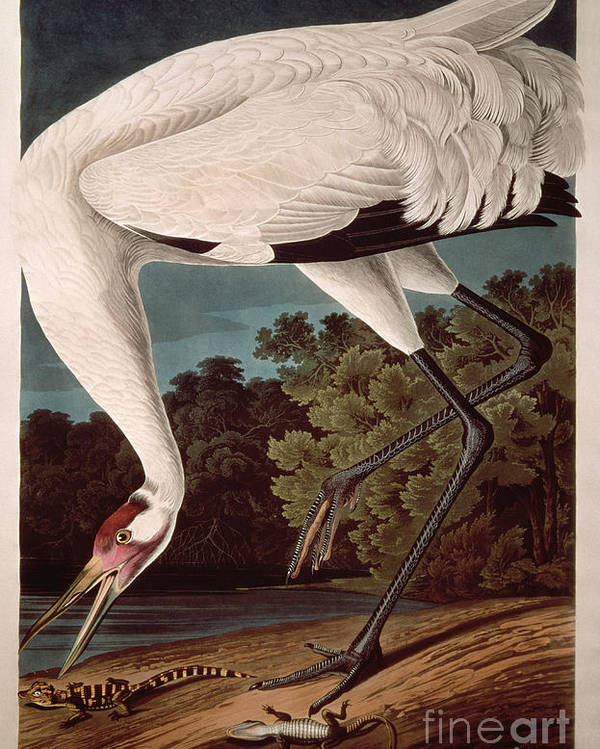Crane Poster featuring the painting Whooping Crane by John James Audubon