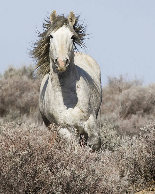 Wild Horse Poster featuring the photograph Wild Grey Stallion Runs Close by Carol Walker