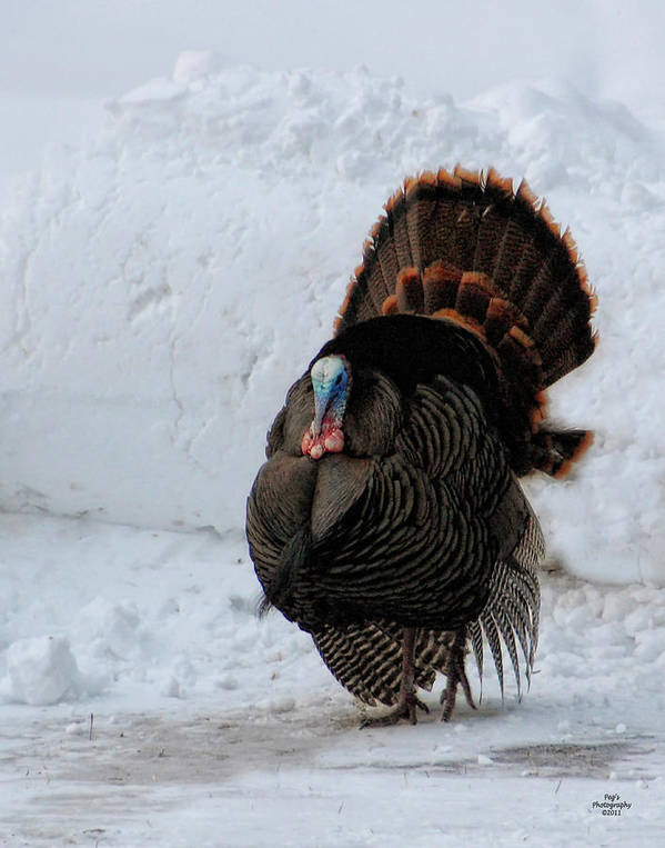 Wild Turkey Poster featuring the photograph Wild Tom Turkey In Winter by Peg Runyan