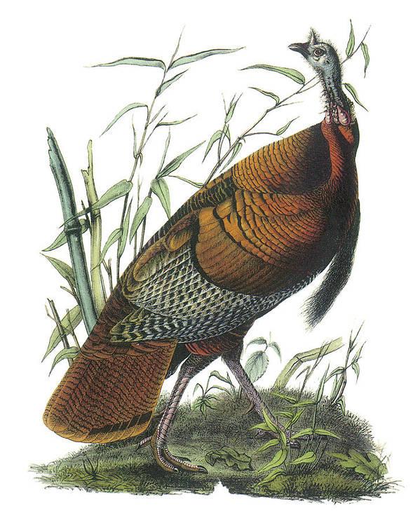 John James Audubon Poster featuring the painting Wild Turkey by John James Audubon
