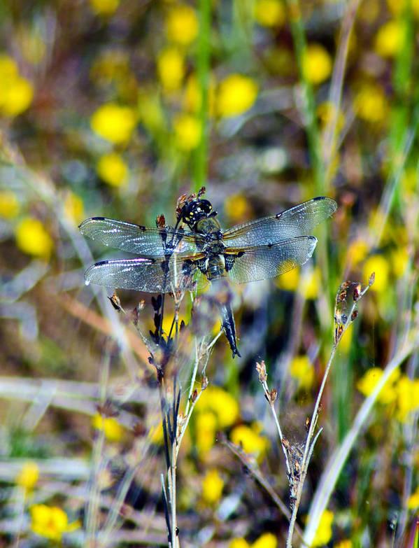 4 Spotted Skimmer Poster featuring the pyrography Wildflowers by Sally Sperry