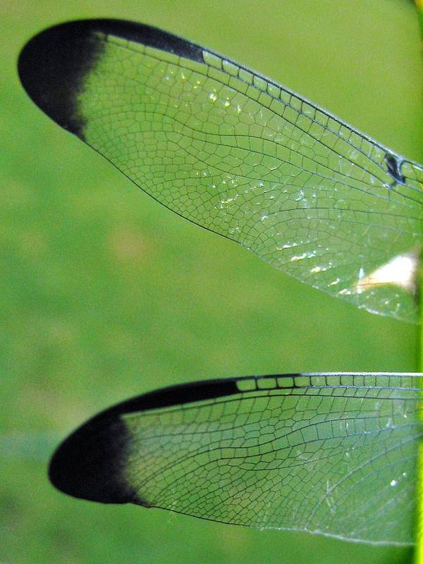 Dragonfly Poster featuring the photograph Wings by Nikki Mansur