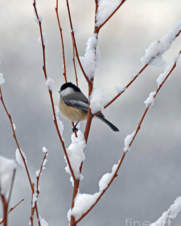 Berry Poster featuring the photograph Winter Chickadee by Diane E Berry