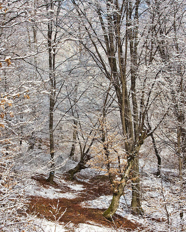 Winter Poster featuring the photograph Winter Forest by Gabriela Insuratelu