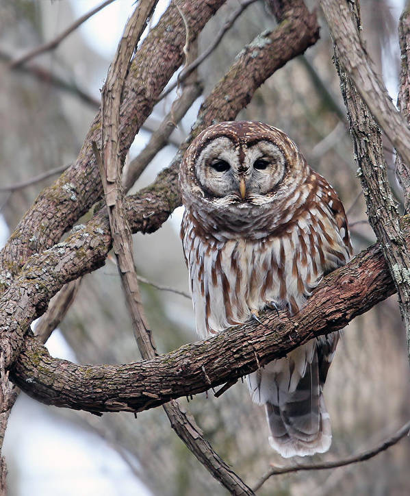 Owl Poster featuring the photograph Winter Perch by Gina Fitzhugh