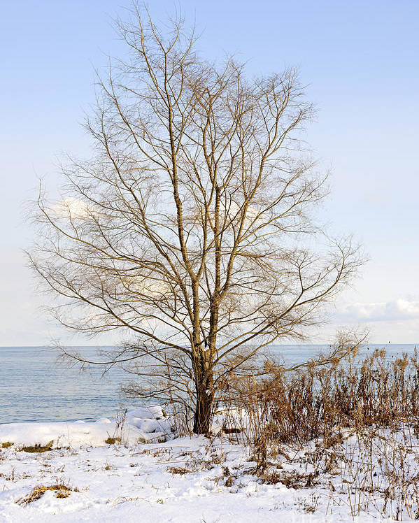 Tree Poster featuring the photograph Winter Tree On Shore by Elena Elisseeva