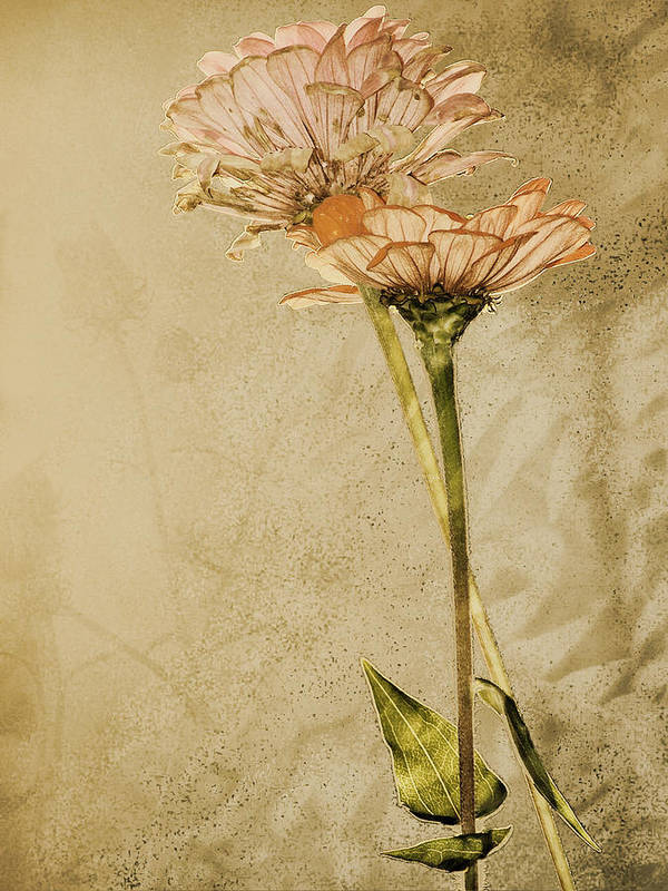 Flower Poster featuring the photograph Withered by Sally Engdahl