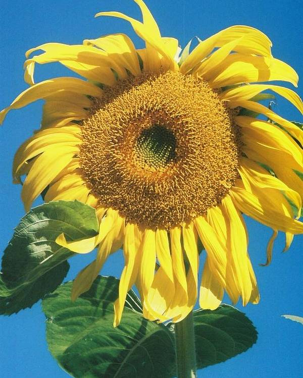 Sunflower Poster featuring the photograph Wow by Billie Colson