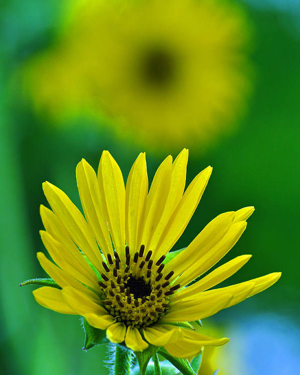 Flower Poster featuring the photograph Yellow And Green 3 by Peter McIntosh