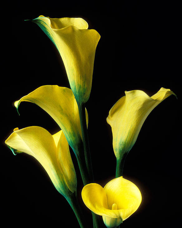 Calla Lily Poster featuring the photograph Yellow Calla Lilies by Garry Gay