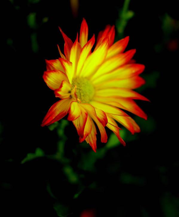 Flower Poster featuring the photograph Yellow Fire by Mark Platt