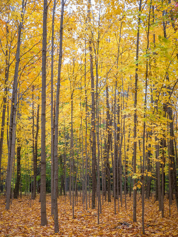 Yellow Maples Poster featuring the photograph Yellow Saplings by Diane Moore
