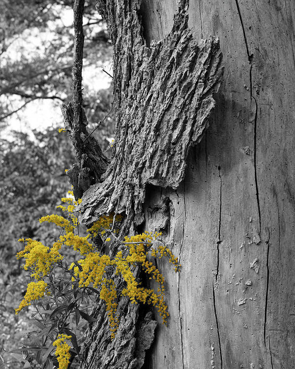 Bark Poster featuring the photograph Yellow Tufts by Dylan Punke
