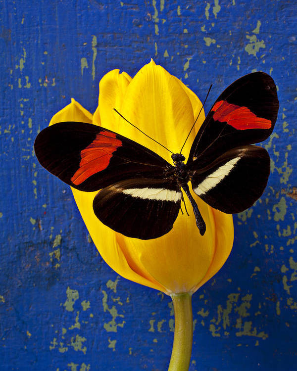 Yellow Poster featuring the photograph Yellow Tulip With Orange And Black Butterfly by Garry Gay