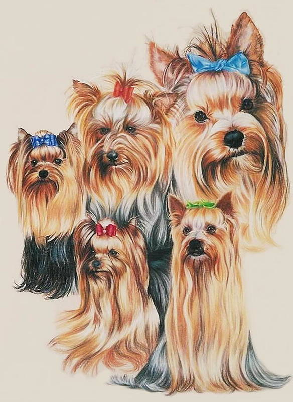 Purebred Poster featuring the drawing Yorkshire Terrier by Barbara Keith