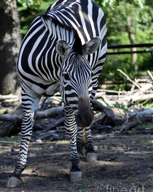 Zebra Poster featuring the photograph Zebra by Brenda Thour