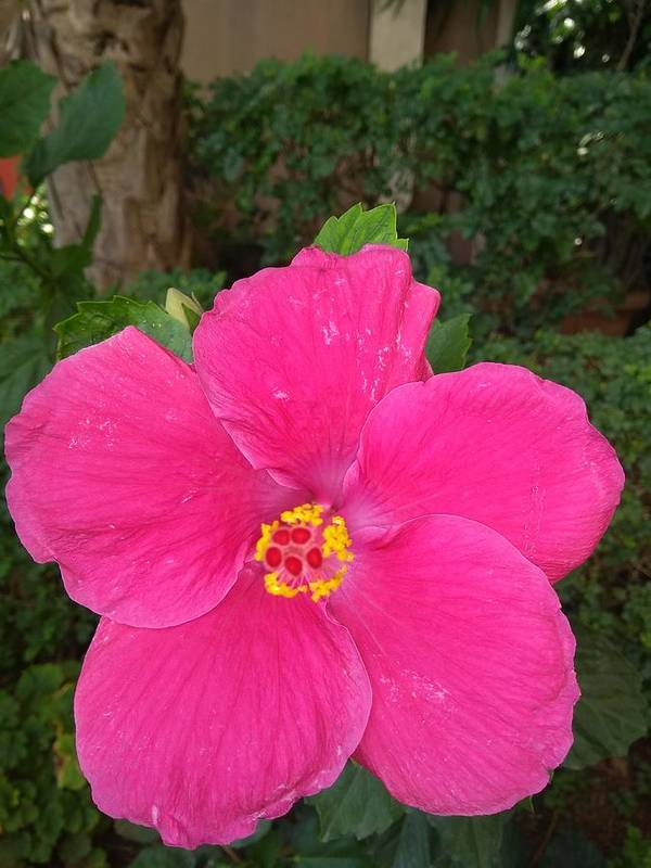 Poster featuring the photograph Bright Pink Hibiscus by Nimu Bajaj and Seema Devjani