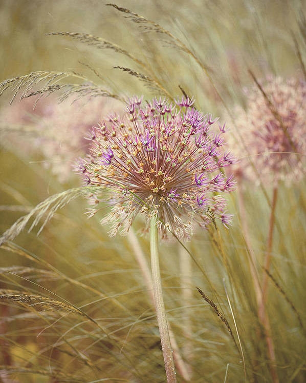 Allium Purple Sensation Poster By Jacky Parker Photography