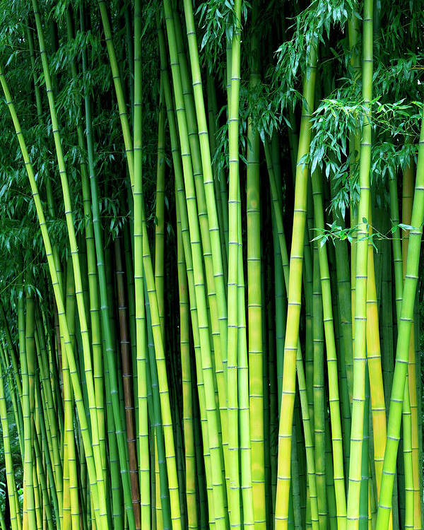 Bamboo Trees Poster By Enjoynz