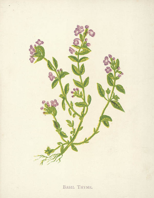 Engraving Poster featuring the photograph Basil Thyme by Hulton Archive