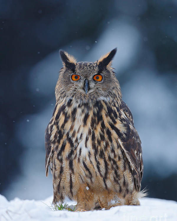 Big Poster featuring the photograph Big Eurasian Eagle Owl With Snowflakes by Ondrej Prosicky
