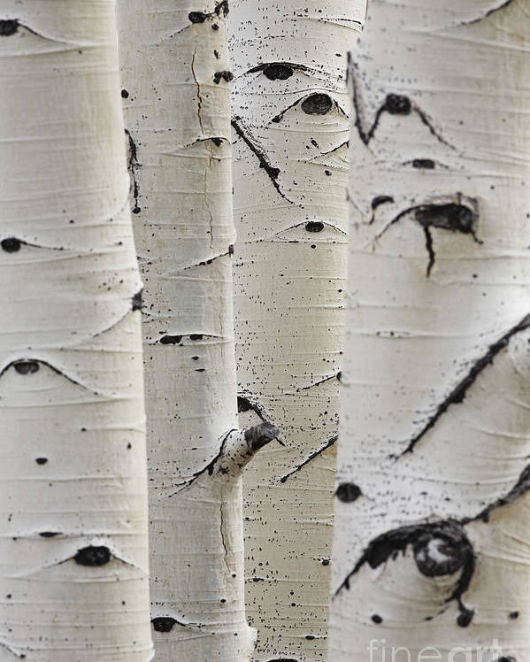 Silver Birch Tree Poster featuring the photograph Birch Trees In A Row Close-up Of Trunks by Sirtravelalot
