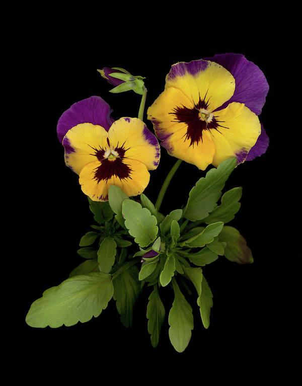 Pansy Flowers Poster featuring the photograph Bright Shining Faces by Sandi F Hutchins