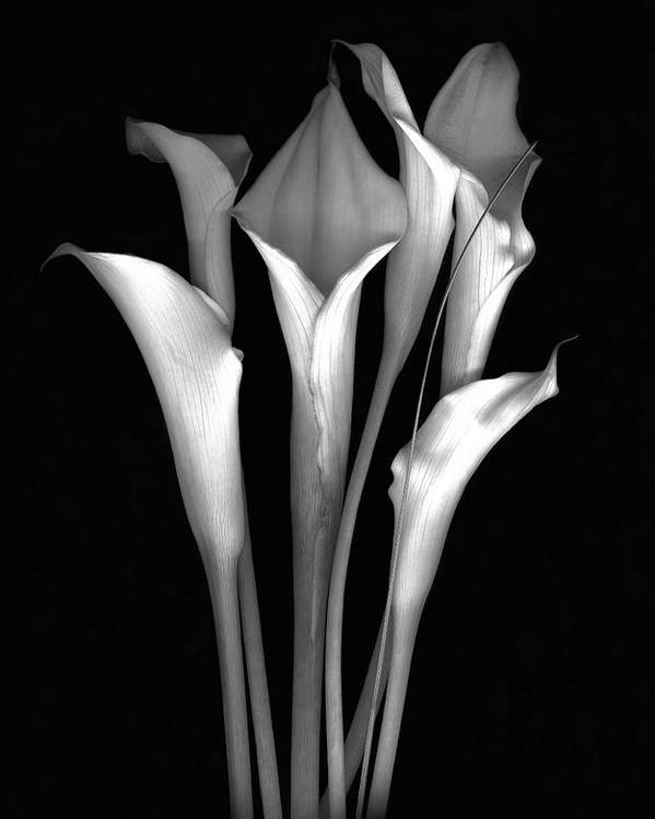 Calla Poster featuring the photograph Calla White and Black by Sandi F Hutchins