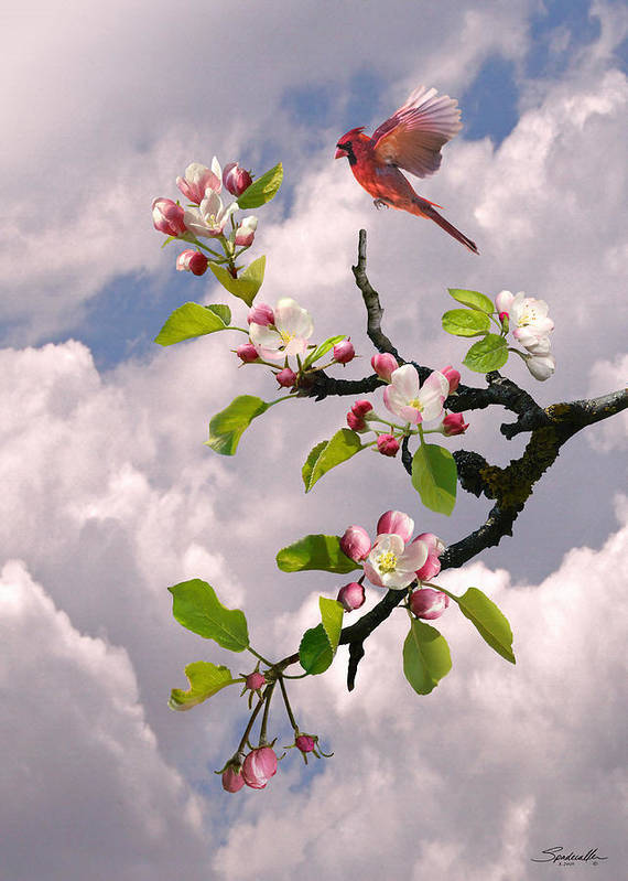 Apple Blossom Poster featuring the digital art Cardinal In Apple Tree by Spadecaller