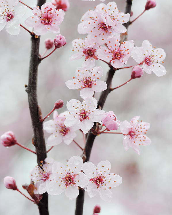 Cherry Poster featuring the photograph Cherry Plum Purple Plum Pink Flowers On by Martin Ruegner