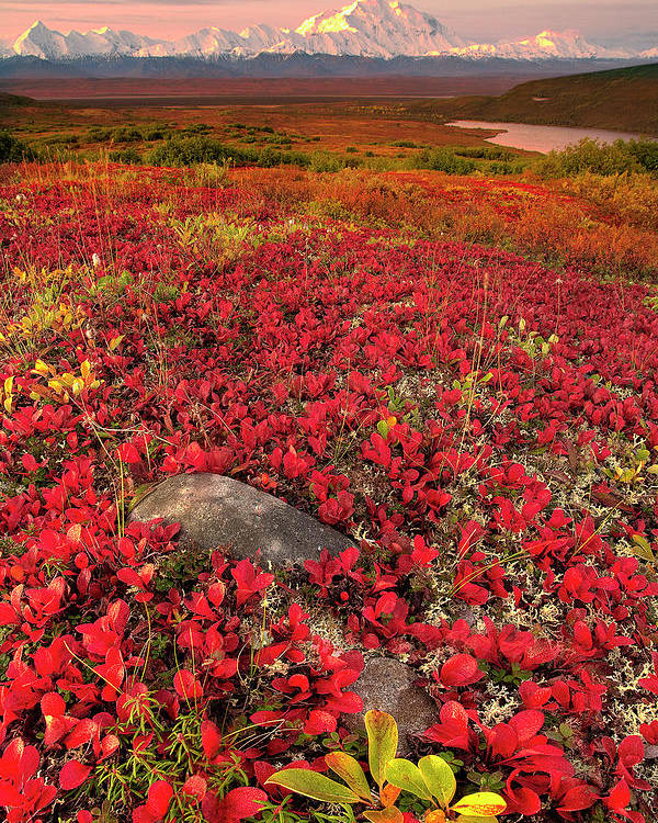 Scenics Poster featuring the photograph Denali National Park Fall Colors by Kevin Mcneal