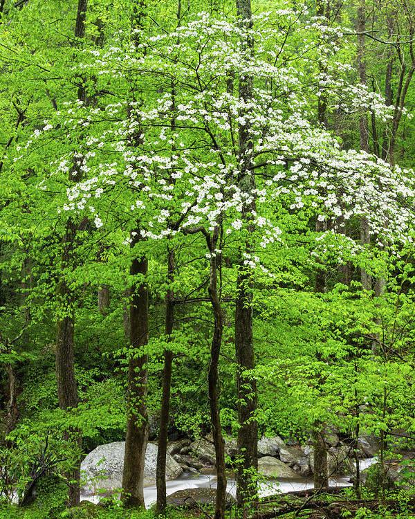 Flowering Dogwood Tree Poster By Kencanning