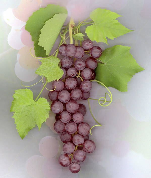 Grapes Poster featuring the photograph Grapes on Grapes by Sandi F Hutchins