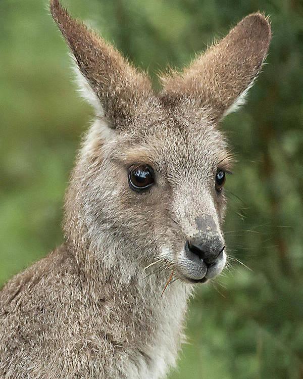 Kangaroo Poster featuring the photograph Kangaroo Up Close by Barry Kearney