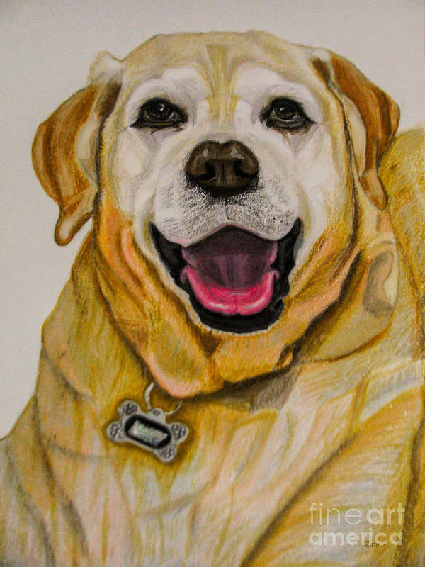 Labrador Poster featuring the drawing Labrador Retriever Drawing by Zina Stromberg