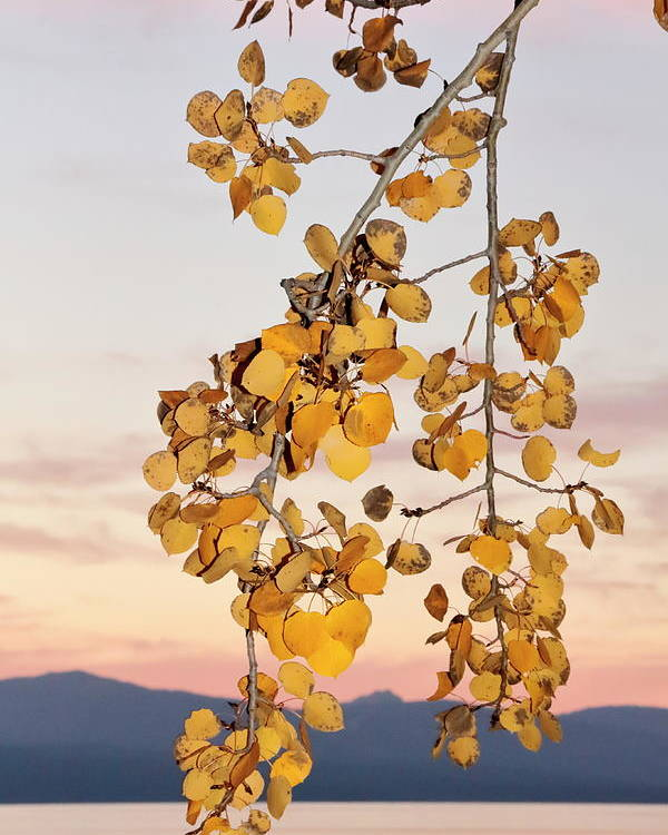 Foliage Poster featuring the photograph Leaves Star In Tahoe Scene by Diane Zucker