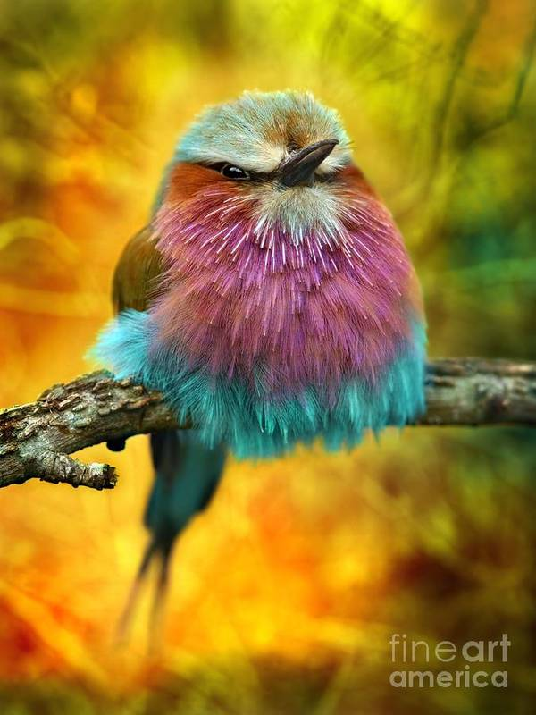 Feather Poster featuring the photograph Lilac Breasted Roller Bird With Funky by Tomatito