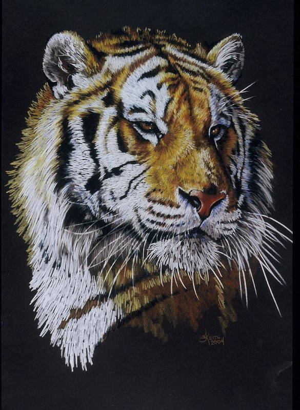 Panthera Poster featuring the drawing Nanook the Tiger by Barbara Keith
