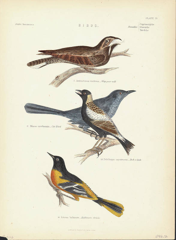 Music Poster featuring the photograph Order Passeriformes by Kean Collection