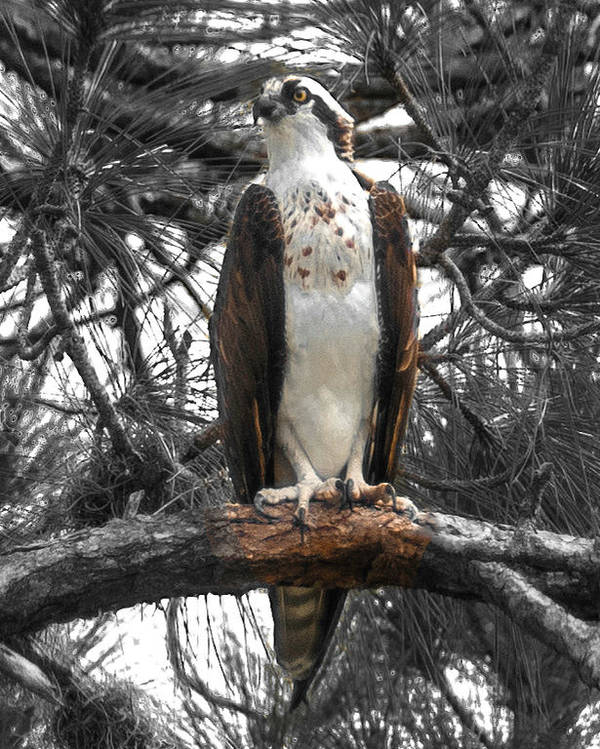 Osprey Poster featuring the photograph Overseer by Sally Sperry