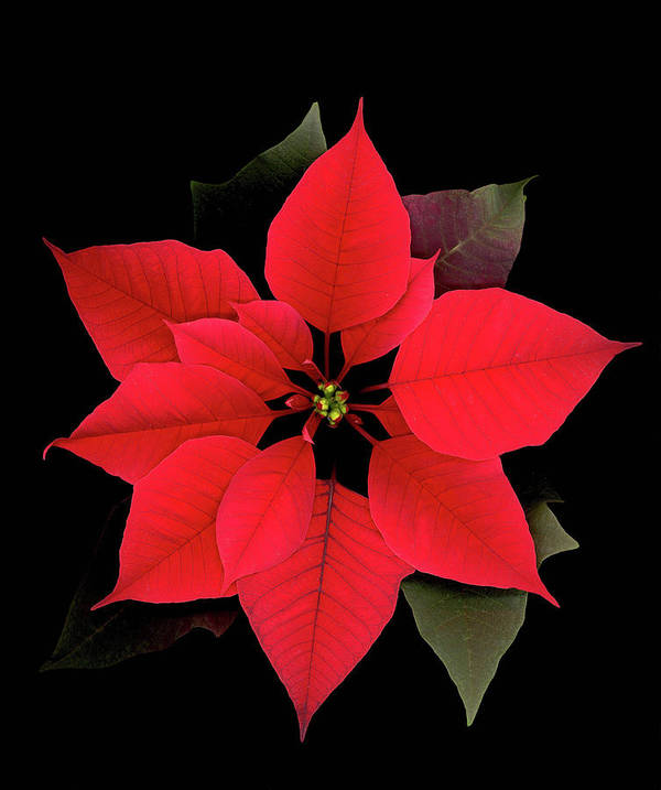 Poster featuring the digital art Poinsettia by Sandi F Hutchins