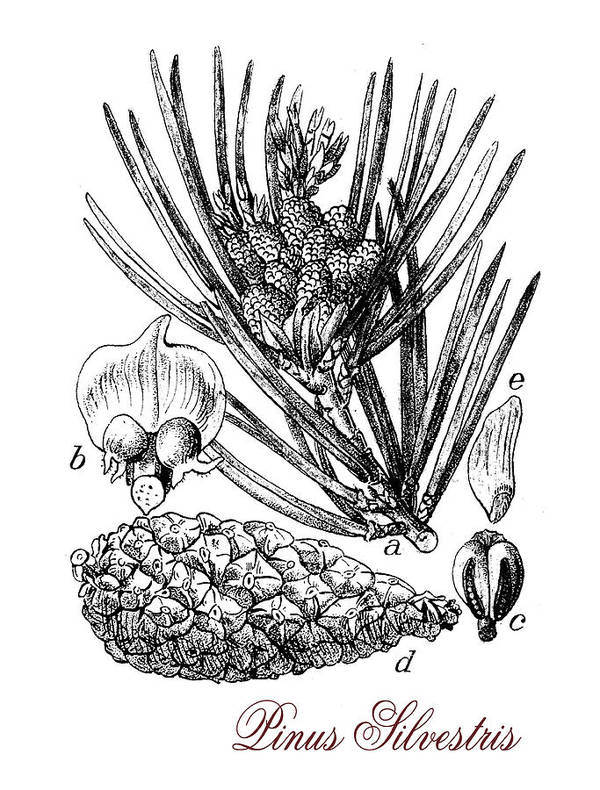 Scots Pine Poster featuring the drawing Scots Pine Or Pinus Silvestris, Botanical Vintage Engraving by Luisa Vallon Fumi
