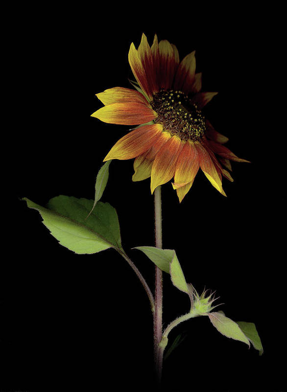 Poster featuring the photograph Sunflower With A View by Sandi F Hutchins