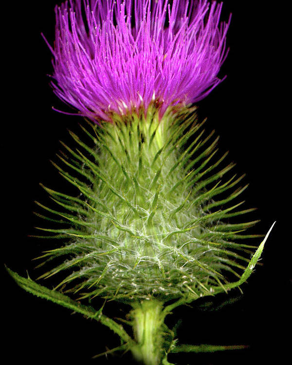 Poster featuring the photograph Thistle by Sandi F Hutchins