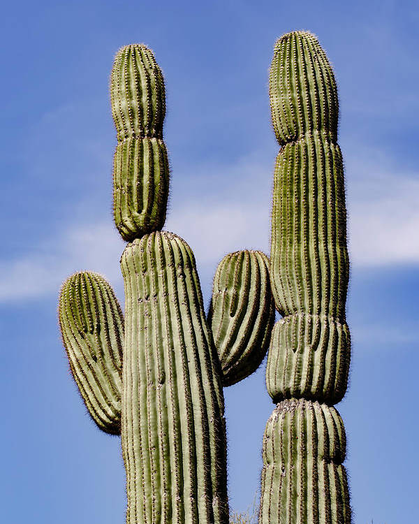 Adam Jones Poster featuring the photograph Upward View Of Saguaro Cactus And Blue by Adam Jones